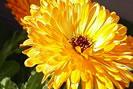 Marigold compress