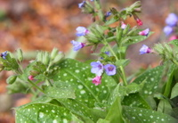 Lungwort tea