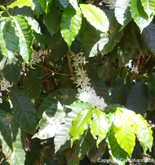 Coffea-arabica1